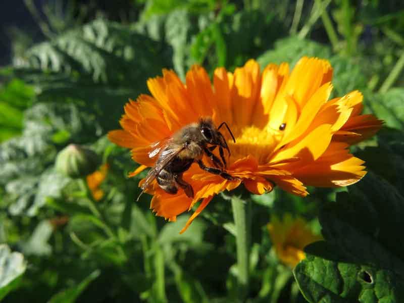 orangene Ringelblume mit Biene