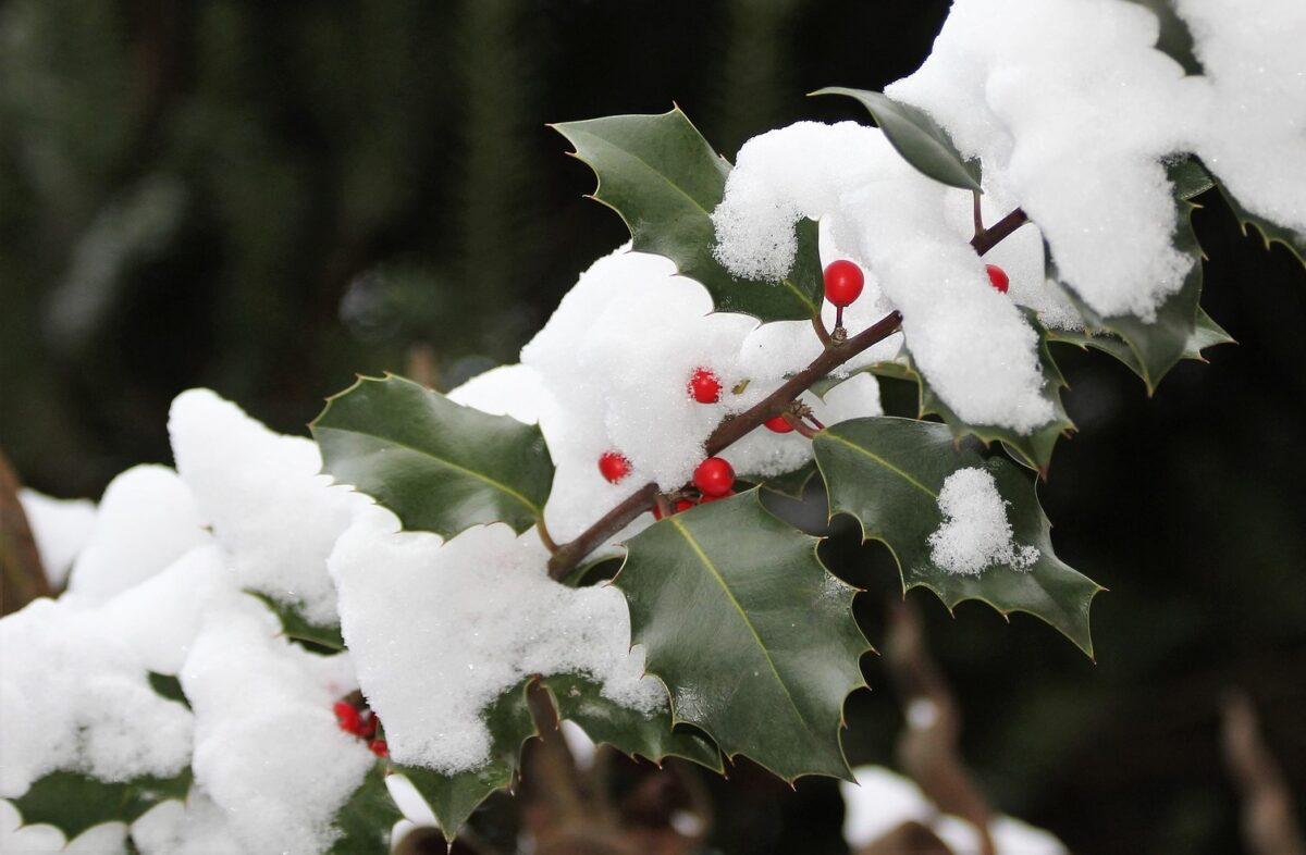 Stechpalme mit Schnee