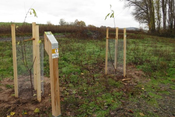 Zwei junge Robinien - Patenbaum 2020 und Jubiläumsbaum 1250 Jahr Rodenbach