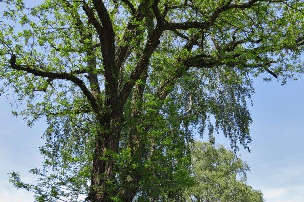 Robinien-Baum im Frühling