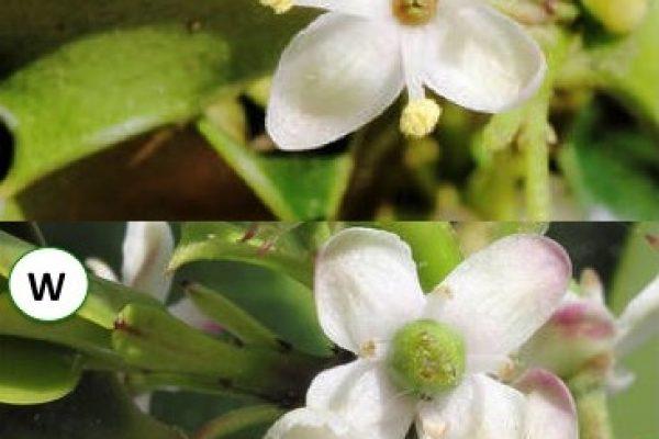 Männliche Blüte (oben) und weibliche Blüte (unten)
