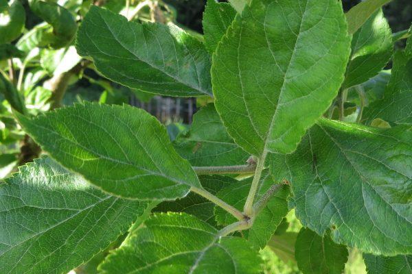 Blatt des Wild-Apfels